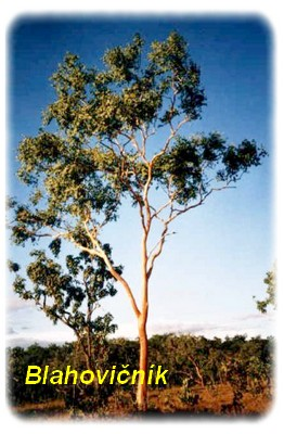 Eukalyptus strom